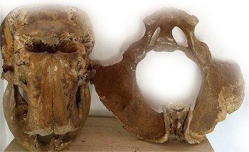 Elephant Anatomy and morphology Part 2 of 2 5