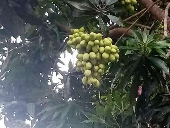 மா மரமொன்றில் காய்த்துக் குலுங்கிய 12 வகையான மாவினங்கள் 3
